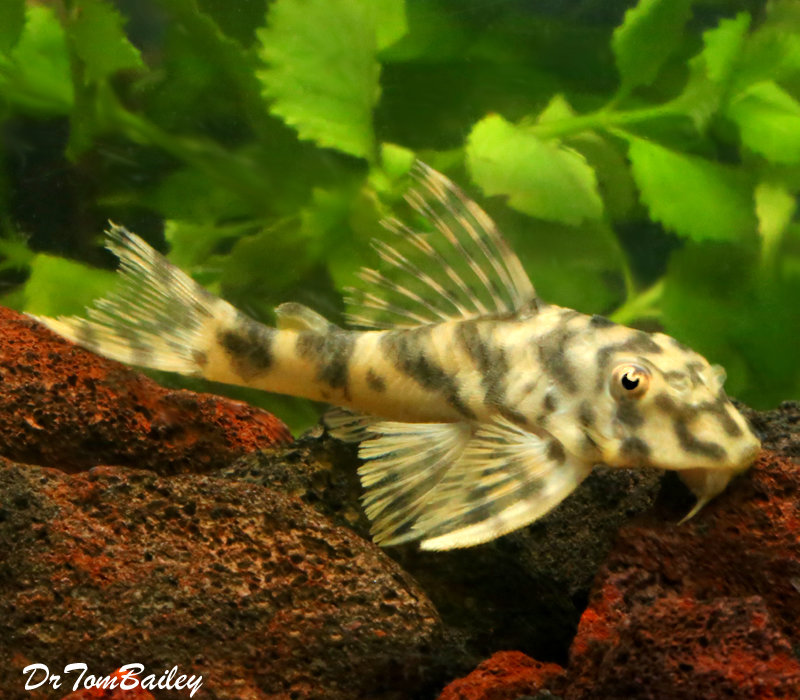Premium, Wild, Rare, Candy Stripe Peckoltia Plecostomus Catfish L015, about 3