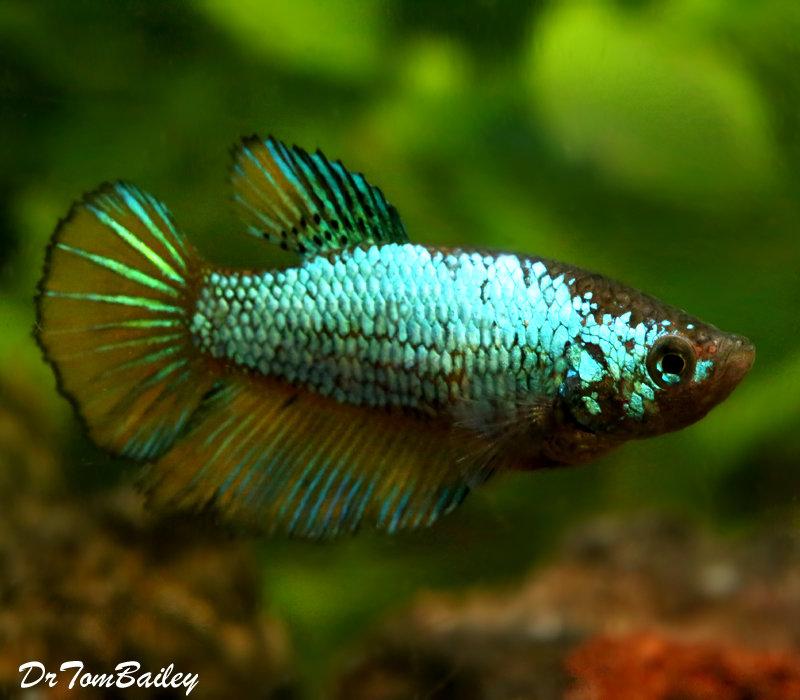 "Premium WYSIWYG Unique Female Halfmoon Betta Fish, 1.5"" to 2"" long"