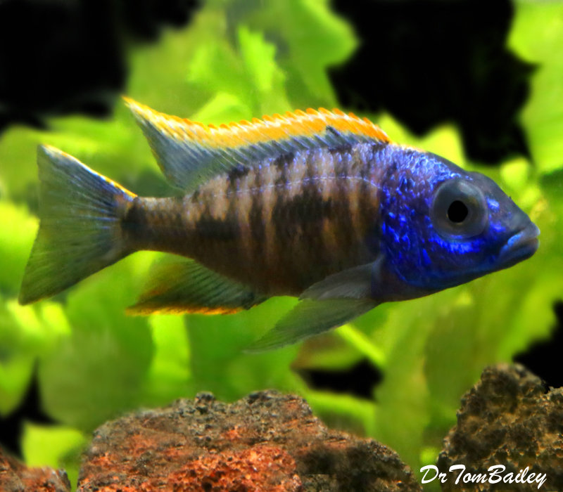 "Premium Lake Malawi Yellow Blaze Aristochromis Cichlid from Zimbabwe Rock, 3"" to 3.5"" long"
