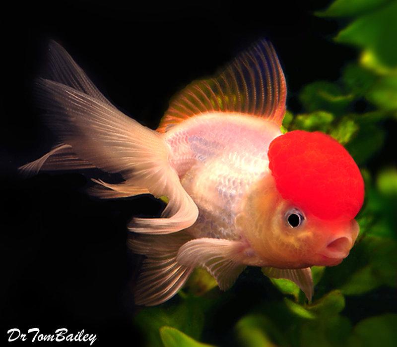 Premium Red Cap Oranda Goldfish, 2