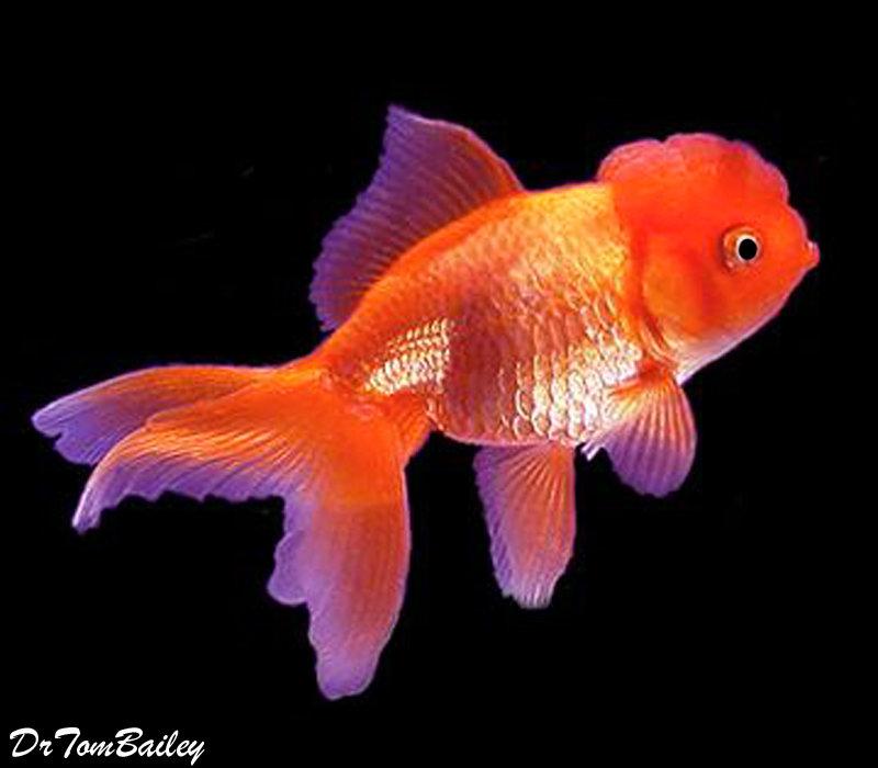 Premium Red Oranda Goldfish, 3.5