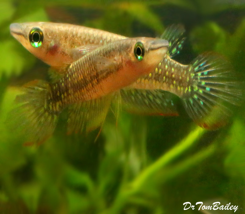 Premium Rare Striped Panchax Killifish, 2