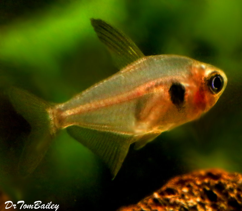 Premium Red Phantom Tetra, 0.75