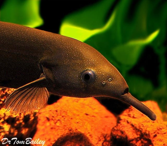 "Premium Wild Elephant Nose Fish, 6"" to 8"" long"