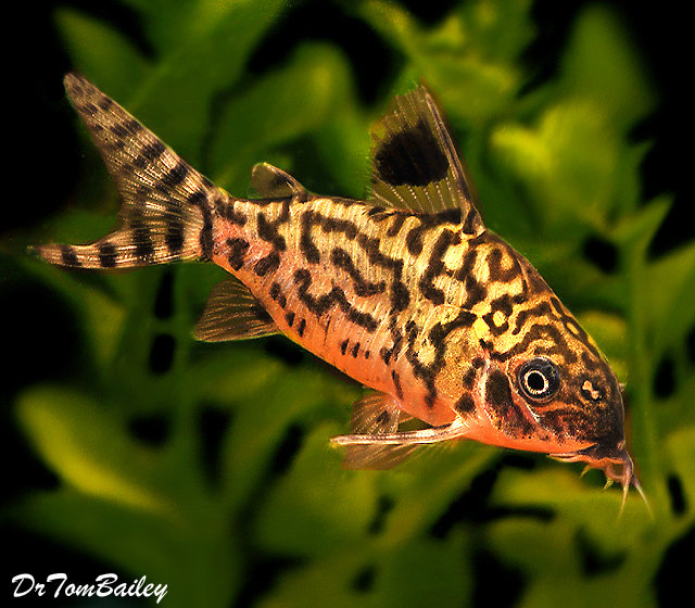 "Premium Reticulatus Corydoras Catfish, 2"" to 2.5"" long"