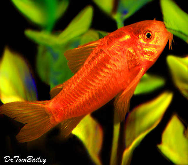 "Premium Wild Neon Orange Cory Catfish, also called the Gold Laser Cory, 1.5"" to 2"" long"