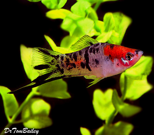 "Premium New & Rare, Showa (Koi) Swordtail, 1"" to 1.5"" long"