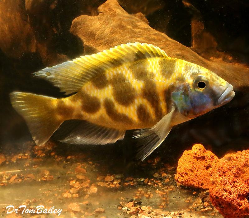 "Premium WYSIWYG Lake Malawi Venustus Haplo Cichlid, 6"" to 7"" long"