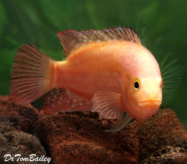 "Premium Rare, Pink Jack Dempsey Cichlid, 2.5"" to 3"" long"