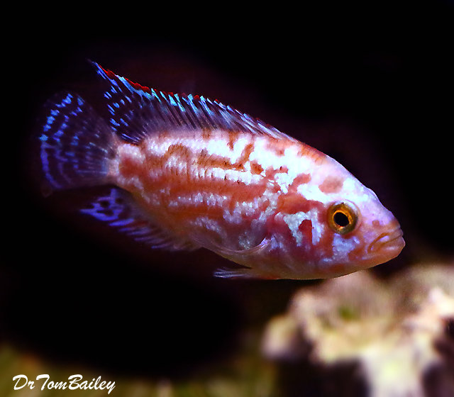 "Premium Rare, Electric Pink Jack Dempsey Cichlid, 2.5"" to 3"" long"