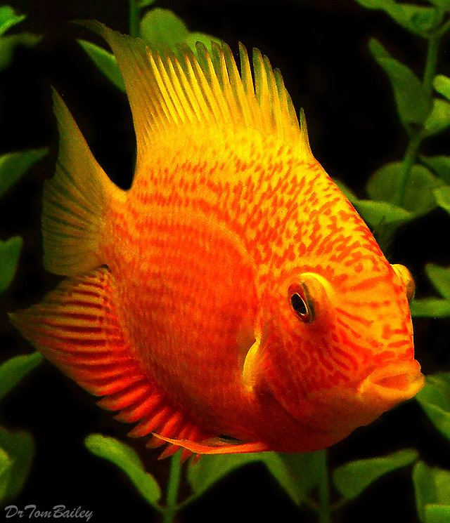 One Bad Eye Red Spotted Severum Cichlid, 4