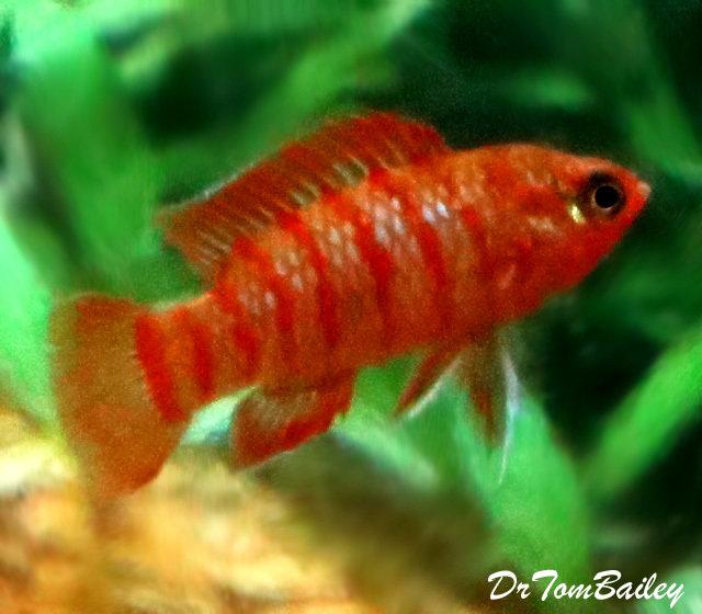 """Premium Wild Scarlet Badis, 0.5"""" to 0.7"""" long"""