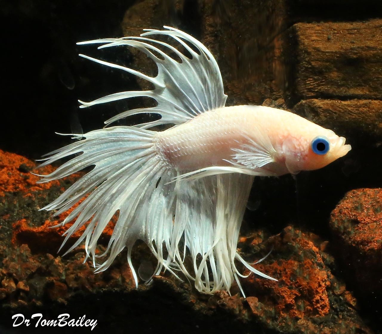 "Premium MALE, Rare Pearl White Crowntail Betta Fish, 2"" to 2.5"" long"