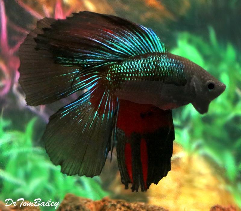 Premium Rare WYSIWYG Doubletail Halfmoon Male Betta Fish, 2.5