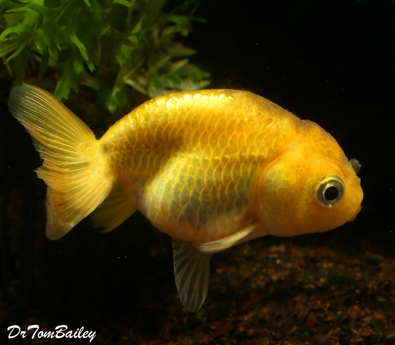 "Premium Golden Ranchu Goldfish, Size: 1.5"" to 2"""