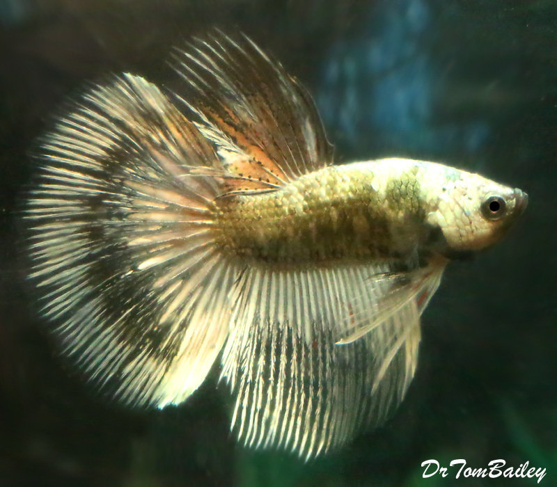 "Premium WYSIWYG Rare Unique Halfmoon Male Betta Fish, 2"" to 2.5"" long"