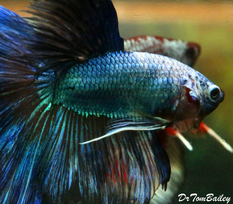"Premium WYSIWYG Rare Unique Halfmoon Male Betta Fish, 2"" to 2.5"" long"