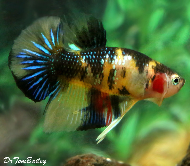 "Premium WYSIWYG Rare Galaxy Koi Plakat Male Betta, 1.5"" to 2"" long"