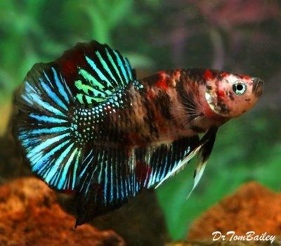 Premium MALE Rare Super Delta Koi Betta Fish, Size: 2.5