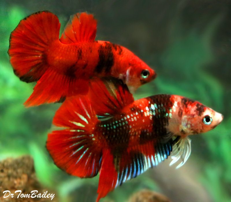 Premium Rare Galaxy Koi Plakat Male Betta, 1.5