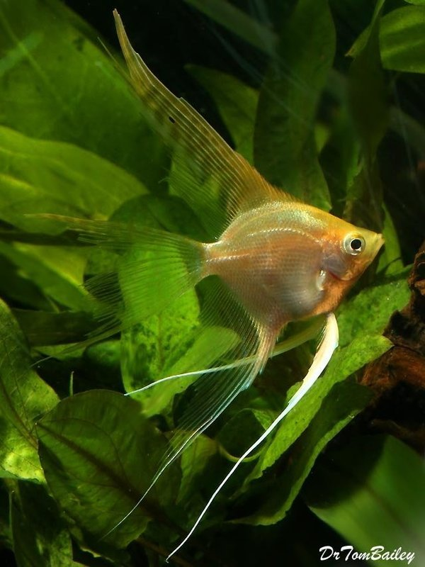 Premium Gold Veiltail Angelfish, 1.5