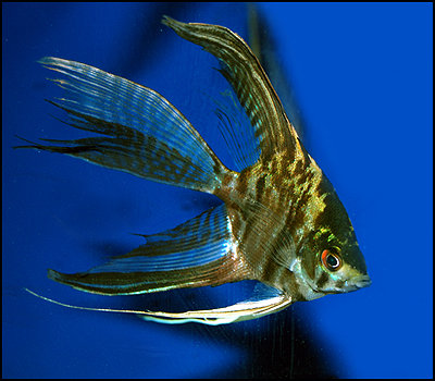 """Premium Marbled Veiltail Angelfish, 1.5"""" to 2"""" tall"""