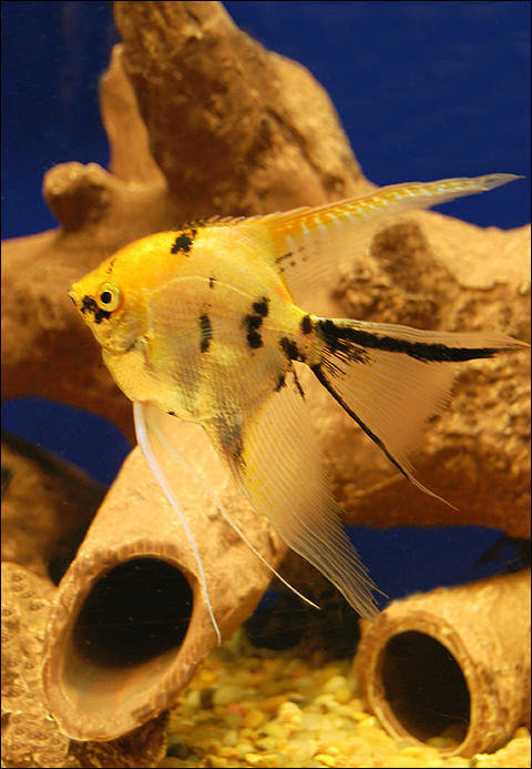 "Premium Gold Marbled Veiltail Angelfish, 1.5"" to 2"" tall"