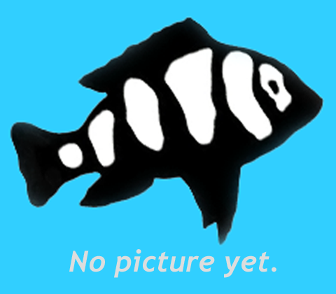Premium Black Veiltail Angelfish, 1.5