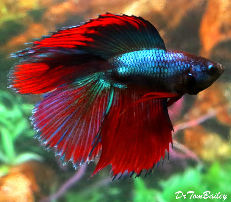 "Premium MALE Doubletail Halfmoon Betta Fish, 2"" to 2.5"" long"