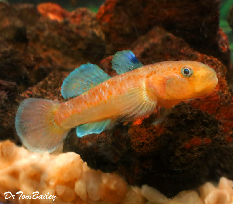"""Premium New & Very Rare Red Spotted Goby, 1.5"""" to 2"""" long"""