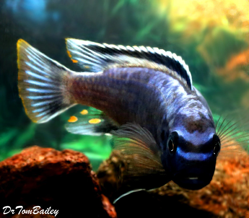 "BABY Lake Malawi Msobo Mbuna Cichlid, 0.25"" to 0.5"" long, in our Tank D-63."