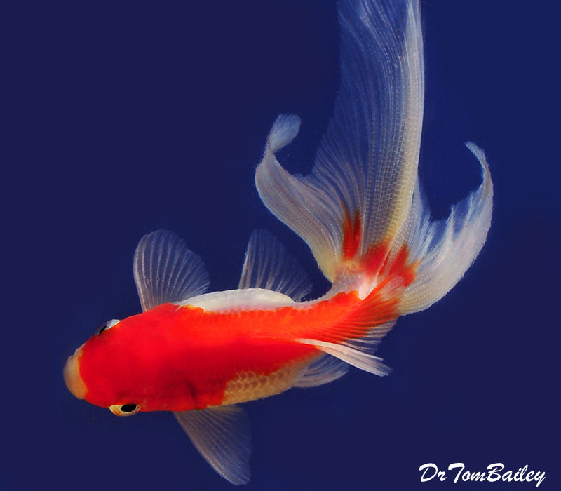 "Premium Red & White Fantail Goldfish, 2.5"" to 3"" long"