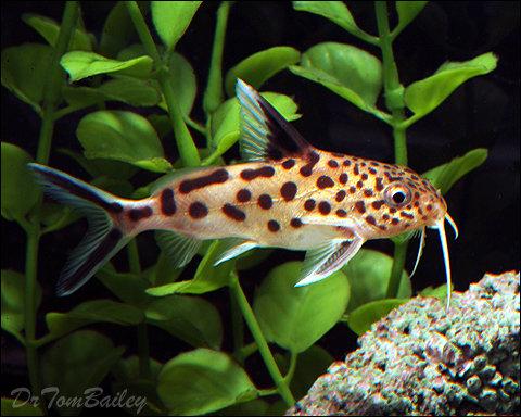 """Premium Rare Synodontis Multipunctatus Catfish, Size: 3"""" to 3.5"""""""