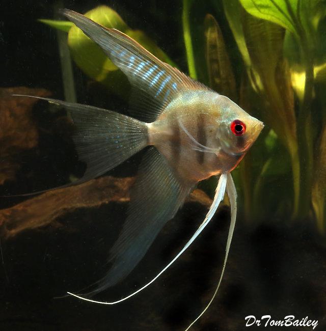 Premium Silver Veiltail Angelfish, 1.5