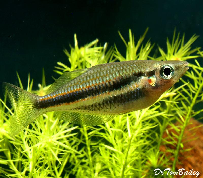 Premium Rare Blyth River Trifasciata Rainbowfish, 2