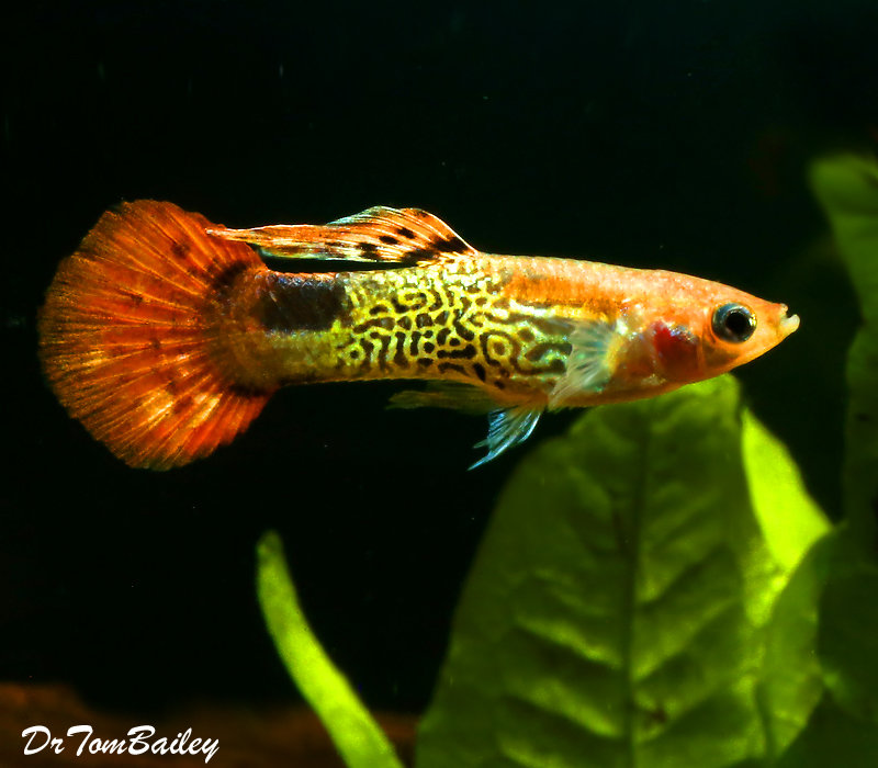 "Premium Male Red Cobra Fancy Guppy, 1"" to 1.5"" long"