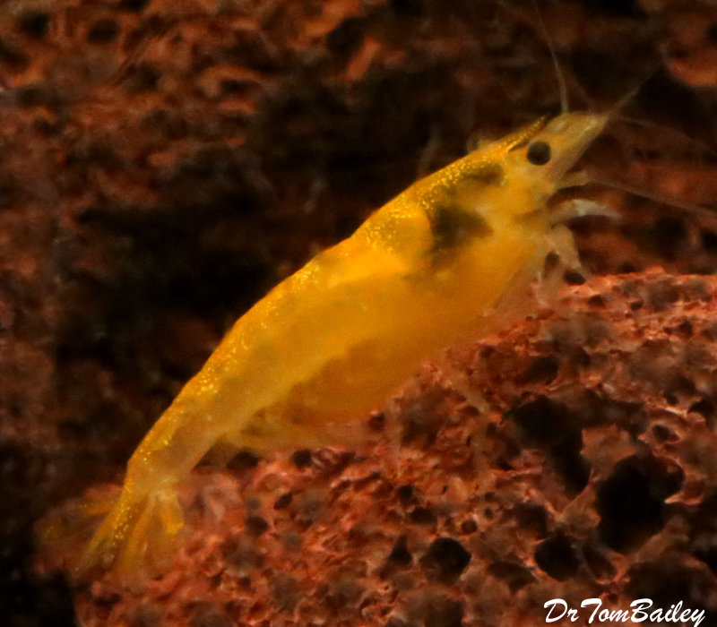 "Premium Yellow Shrimp, 0.75"" to 1"" long"