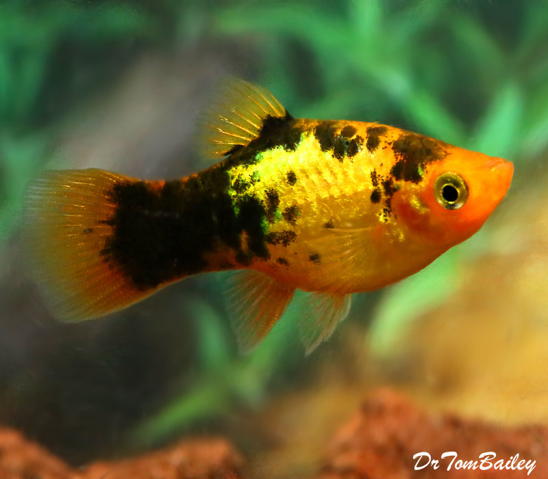 "Premium Rare, New, Neon Gold Calico Platy, 1"" to 1.5"" long"