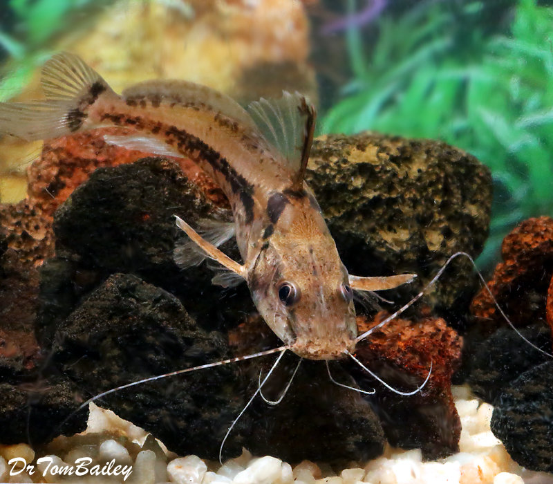"Premium New, Rare, Horsehead Catfish, 3.5"" to 4"" long"