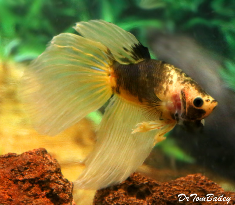 Premium MALE Unique, WYSIWYG, Yellow and Chocolate Betta Fish, 2.5
