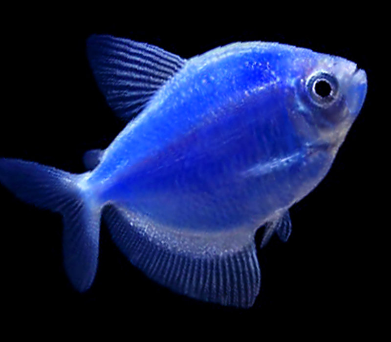"Premium Cosmic Very-Blue GloFish Tetra, 1"" to 1.5"" long"