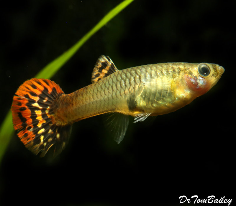 Premium Fancy FEMALE Red Cobra Fancy Guppy, 1