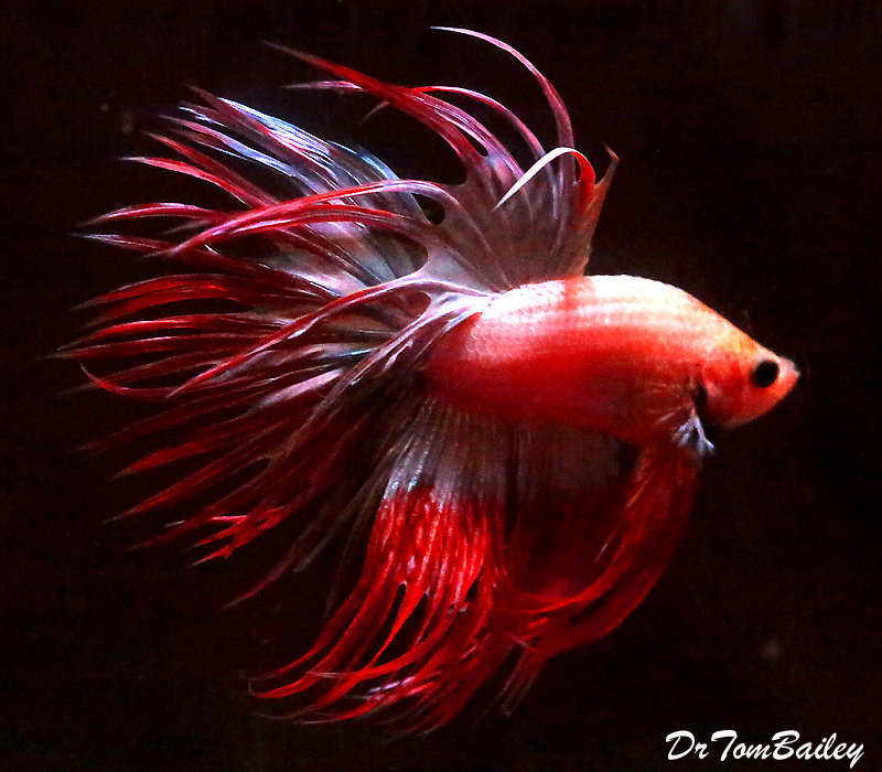 "Premium WYSIWYG Male Cambodian Crowntail Betta, 2.5"" to 3"" long"