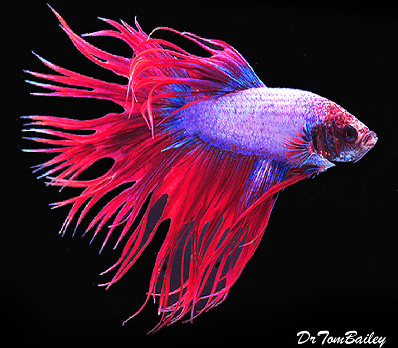 """Premium Male Cambodian Crowntail Betta, 2.5"""" to 3"""" long"""