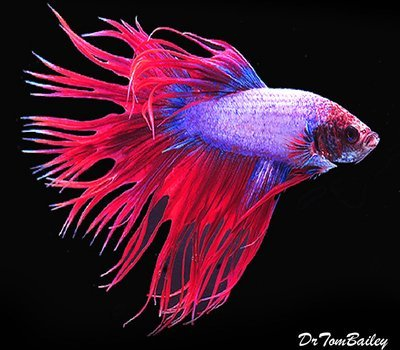 Premium MALE Cambodian Crowntail Betta, Size: 2.5