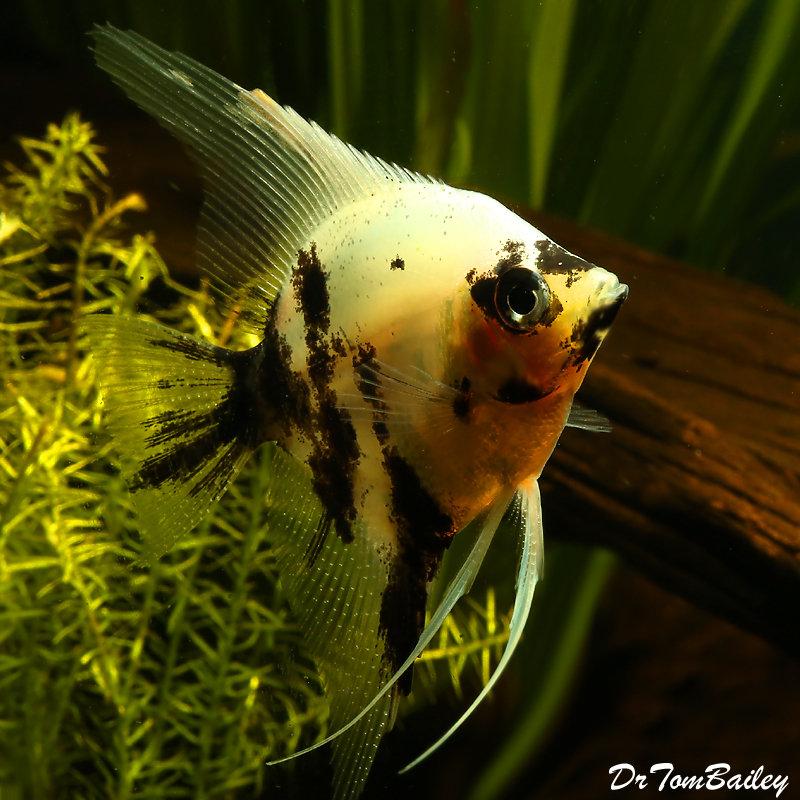 """Premium Rare, Panda Angelfish, 1.5"""" to 2"""" tall"""