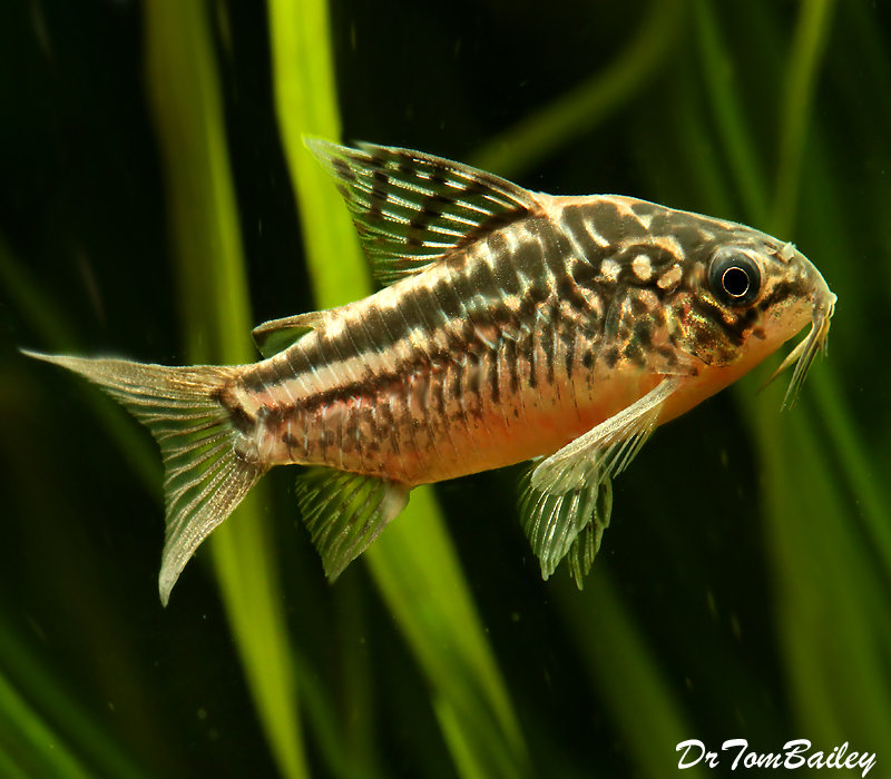 "Premium Elegans Corydoras Catfish, 1"" to 1.5"" long"