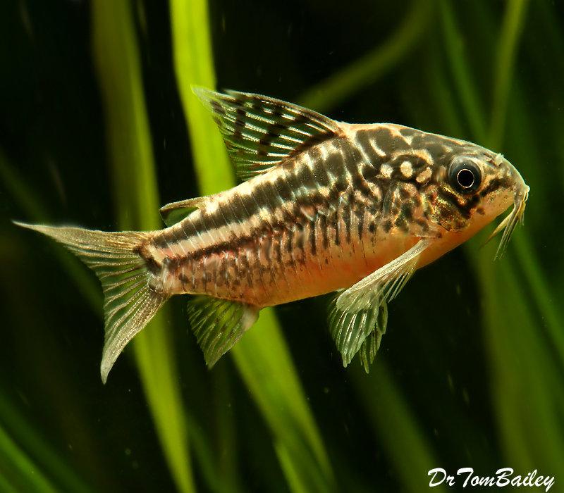 Premium Elegans Corydoras Catfish, 1