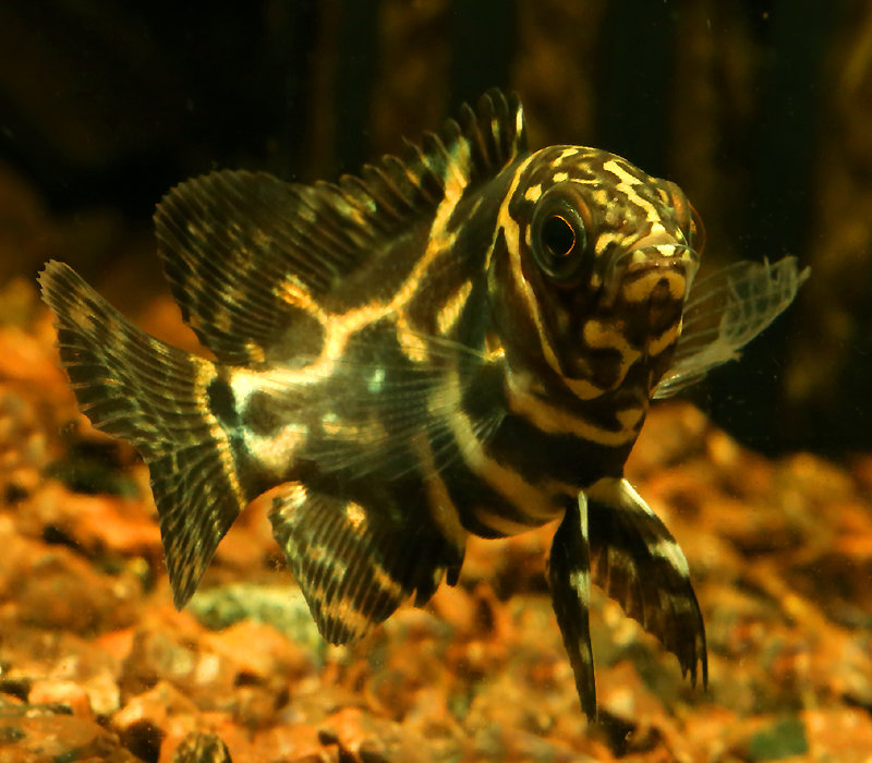 "Premium Common Oscar Cichlid, 1.5"" to 2"" long"