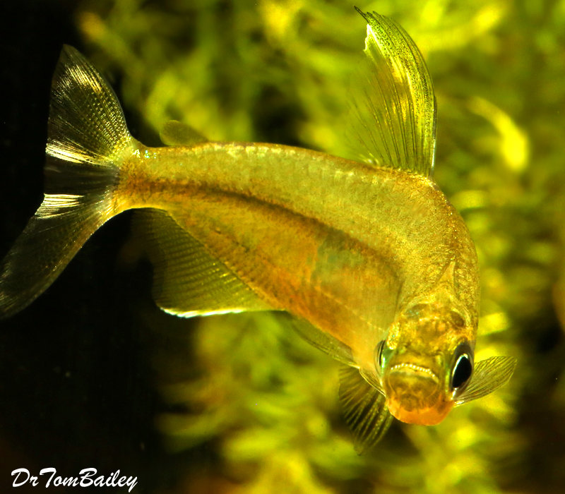 "Premium Rare New, Yellow Congo River Tetra, Size: 1"" to 1.2"""